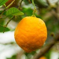 Пузатый, жёлтый принц-лимон :: Виктор Куприянов