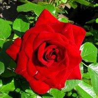 Роза :: Наталья