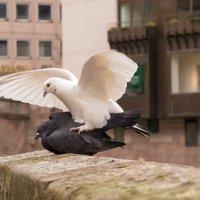 Любовь и голуби(с) :: Elen Dol
