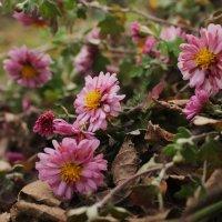 ноябрьские цветы :: Александра Ельчина