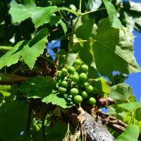 Зреет сладкий виноград... :: Ольга