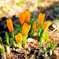 Мартовские крокусы :: Инна Щелокова