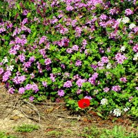 Весна! Лантана и мак. :: Герович Лилия