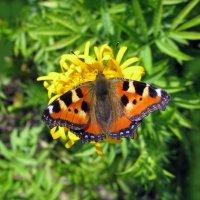 Бабочка :: Елена Панаева