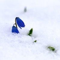 из-под снега... :: Мария Климова