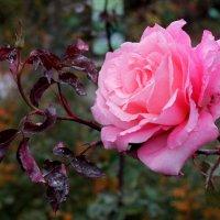 роза перед заморозками :: elena manas
