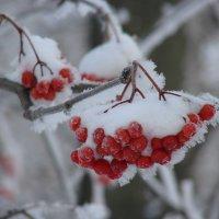 Гроздья рябины покрытые снегом :: Сергей Тагиров
