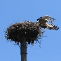 Аист – огромная птица: крыльев гигантский размах. :: Валентина ツ ღ✿ღ