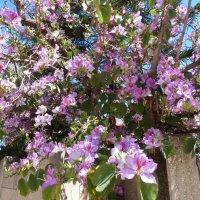 дерево в цвету. :: Пётр Беркун