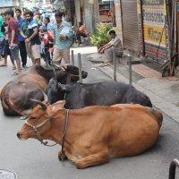 коровы на улицах Мумбаи :: maikl falkon