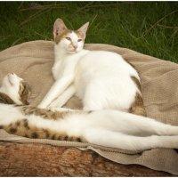 Из жизни котов . Турецкие коты на отдыхе . :: Игорь Абламейко