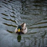 Немного из жизни водоплавающих :: Виктор М