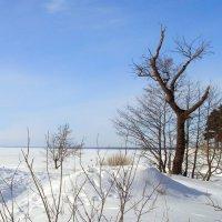 Старое дерево :: Людмила Алексеева