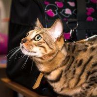 Бенгальский кот :: Татьяна Губенко