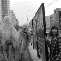 Уличная сценка: верблюды в городе не часты, но любопытны .. :: Михаил Зобов