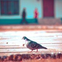 голубь :: Александр Байков