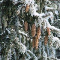 Сосновые шишки в снегу :: Сергей Тагиров