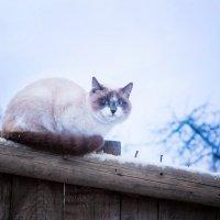 Кот ждет весну... :: Инна Голубицкая