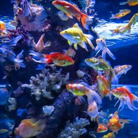 золотые рыбки :: Сергей Цветков