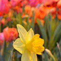Рупор весны :: Ольга