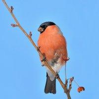 Зимняя птица :: Влад
