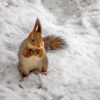 в снегу нашла :: Сергей Цветков