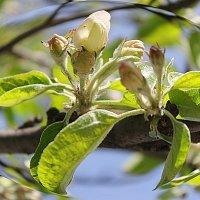 У них сакура, а у нас яблоневое белокипенье........... :: Tatiana Markova