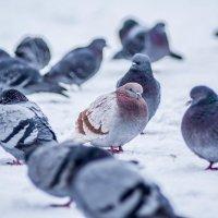голуби :: Александр Байков