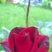 Королева цветов :: Екатерина )))