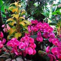 Розовые орхидеи. :: Лара ***