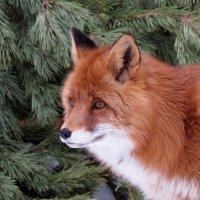 Рыжая красавица :: Наталья Лакомова