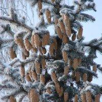 Шишки на дереве :: Сергей Тагиров