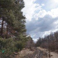 сосновый лес :: Елена Zorra