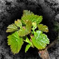 Быть винограду.... :: Юрий Владимирович