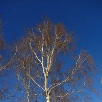 Береза в России - больше, чем дерево :: Андрей Лукьянов