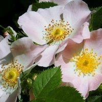 Три красотки :: Swetlana V