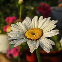 есть глаза у цветов... :: александр дмитриев