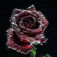 роза :: Владимир Манин