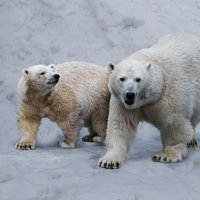 Полярный медведь :: Nn semonov_nn