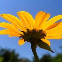 Цветок солнца! :: Наталья