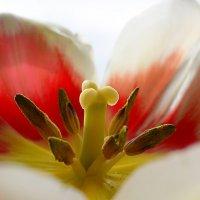 Tulips :: Tatiana Kretova
