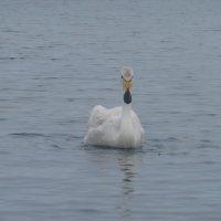 Лебедь-кликун на Иссык-куле :: Андрей Солан