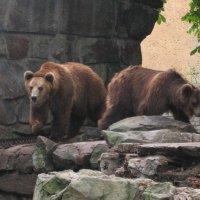 медведи в зоопарке Кениксберга :: maikl falkon