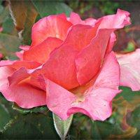 одинокая роза :: Надежда