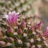 Весенний кактус :: Aнна Зарубина