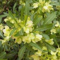 Тропическое растение с интересным названием Шеффлера. :: Жанна Викторовна