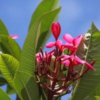 Плюмерия (Plumeria) или Франжипани (Frangipani) :: Антонина