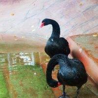 Черные лебеди :: Александра Полякова-Костова