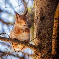Чихающая белка-признак весны :: Юра Викулин