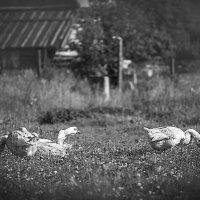 гуси :: Олька Никулочкина